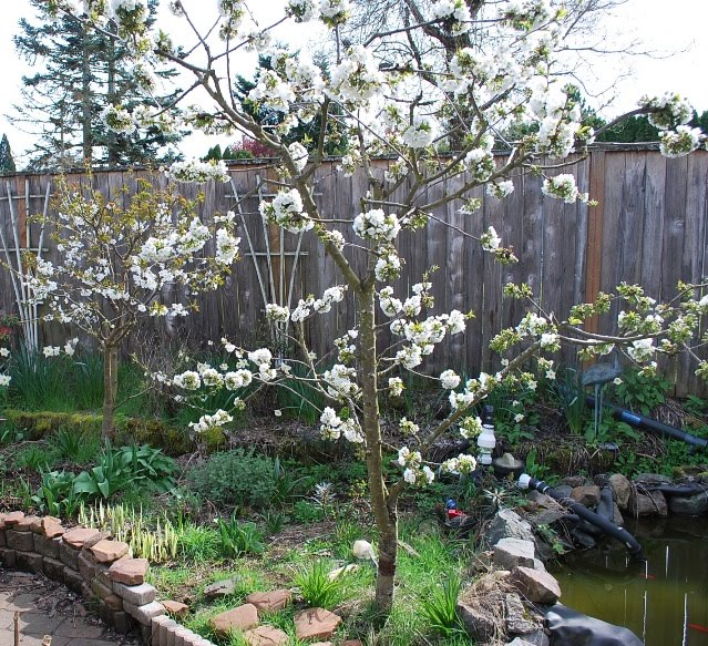 growing greener in the pacific northwest backyard orchard