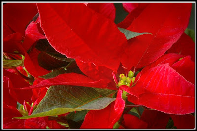 Christmas Poinsettia Desktop Wallpapers