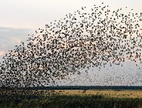 Birds Flock Over Denmark