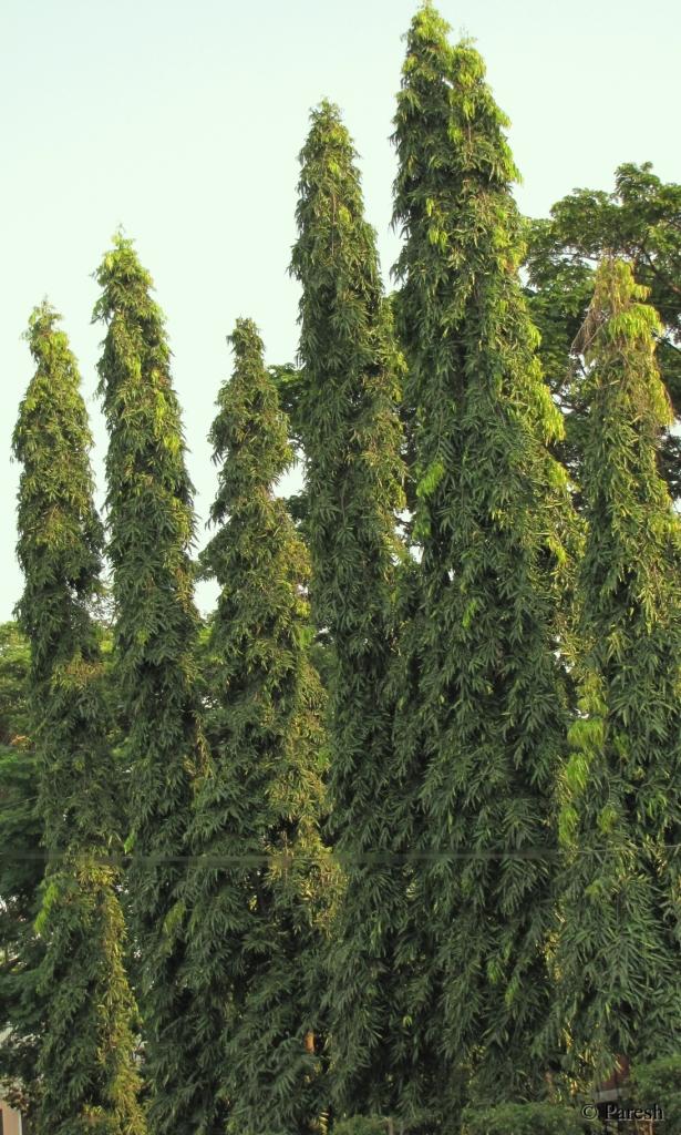Gifting Trees Ashoka The Great