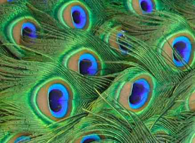 Ready peacock feathers are not really colored as in pigmented nope