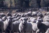 Ovelha vive com ovelhas