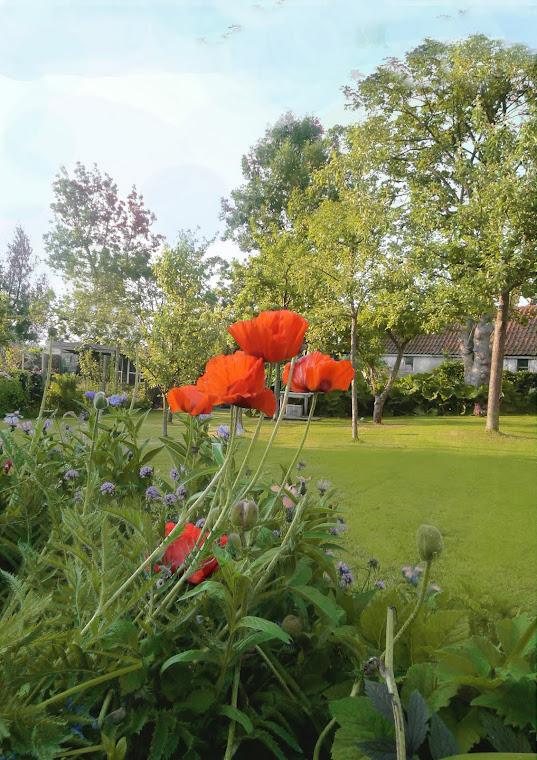 Authentieke dijktuin 2, zomer - papaver en korenbloem
