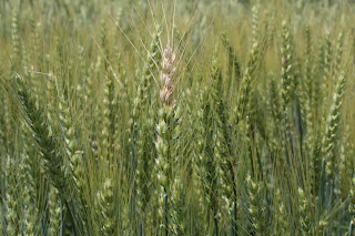 wheat growth stages anthesis