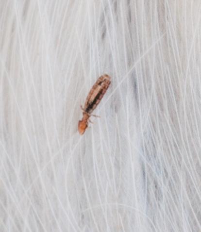 Bird Lice Discovered tiny bird lice