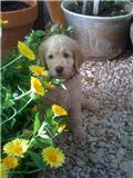"Goldendoodle Pup ""Briar"""
