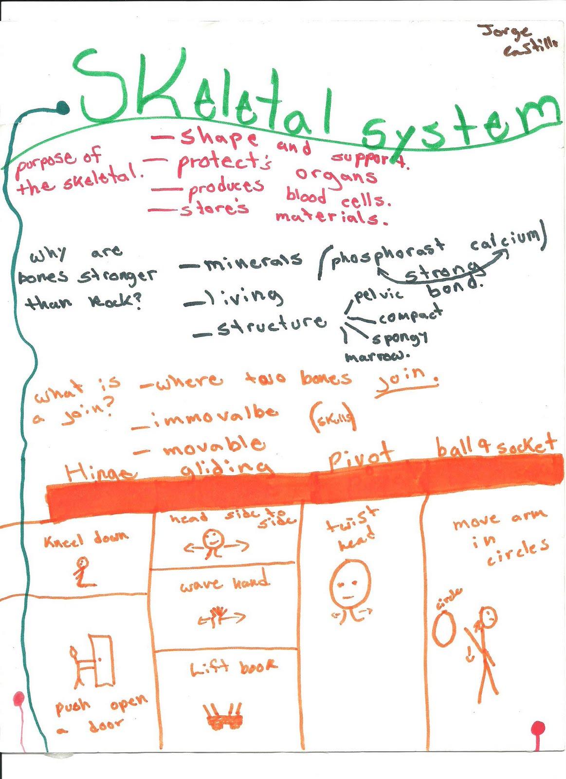 Mr Schriner Science Skeletal System Mindmap