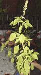 Ocimum-americanum-ran-tulsi