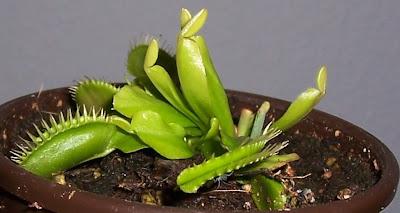 Venusfliegenfalle Dionaea muscipula fleischfressende Pflanze