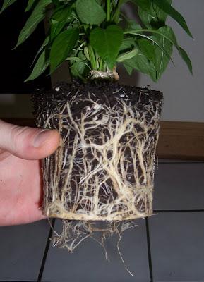 chili pflanze wurzeln umtopfen