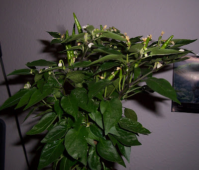 bonsai chili blüte