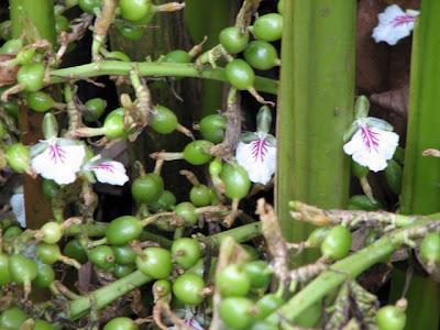 http://4.bp.blogspot.com/__tJ1f7B7x98/SYvhl8eXgnI/AAAAAAAABQo/mqJZTUB3Ee8/s400/Blossom+of+the+cardamom+plant.JPG