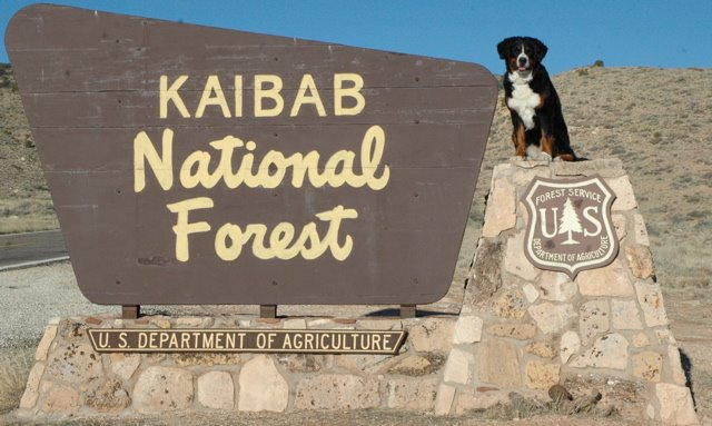 Kaibab Bernese Mountain Dogs