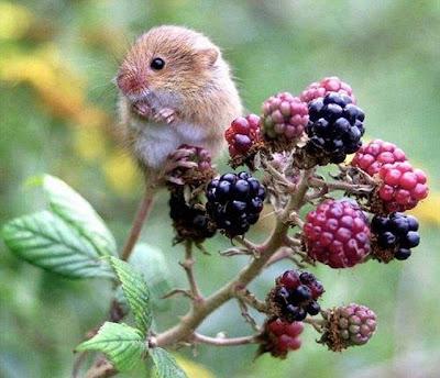Милые и забавные животные фото. Мышонок на ветке ежевики картинка. Маленькие комочки шерсти на фото.