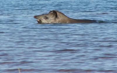 swimming tapir