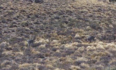 rhea pennata or Patagonian ñandu