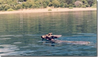 swimming Huemul