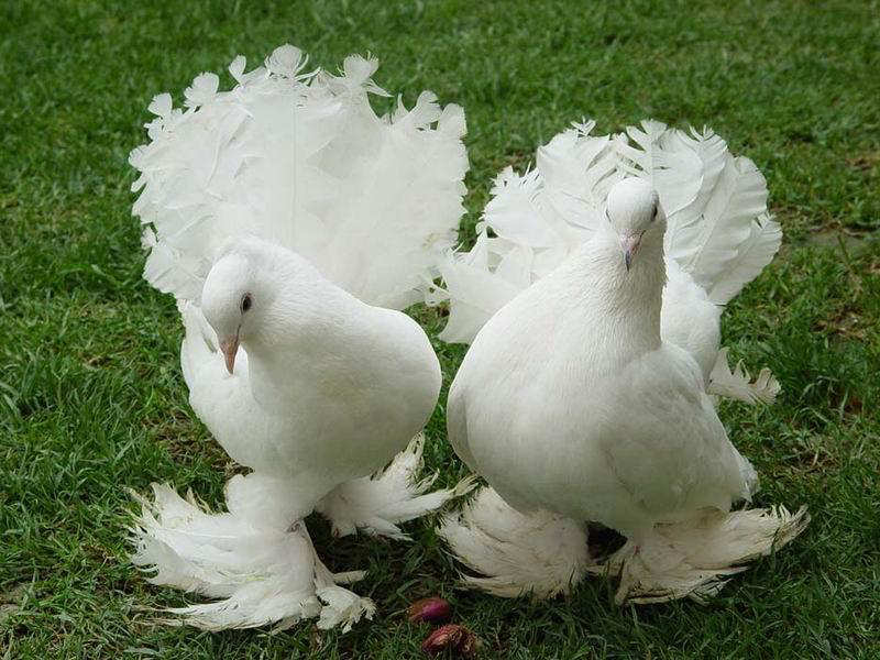 You2Bwill2Bnever2Bfind2BROyal2BPigeons2Bas2BBeautiful2Bas2Bthis2B 8  - Royal Pigeons : Beautiful