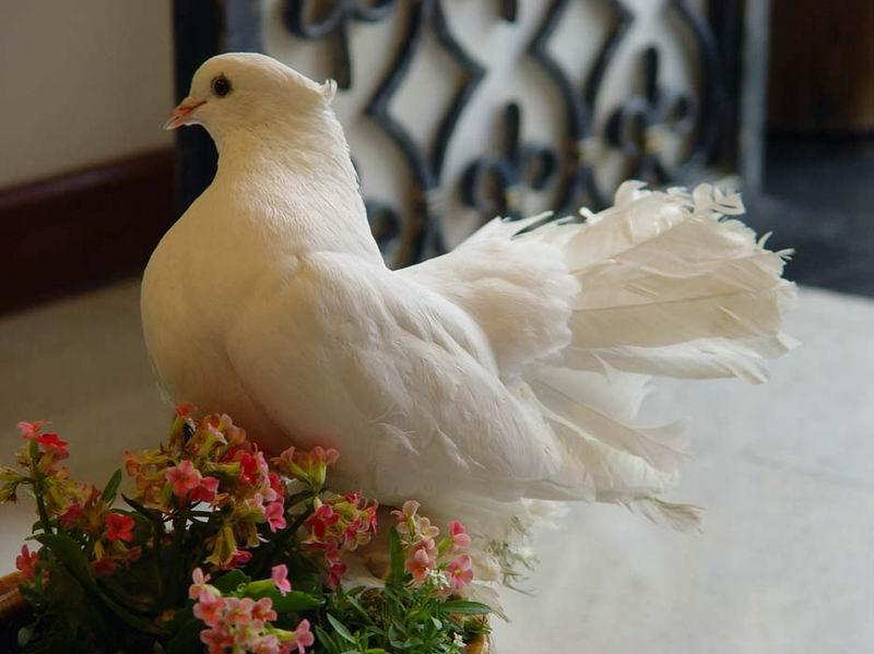 You2Bwill2Bnever2Bfind2BROyal2BPigeons2Bas2BBeautiful2Bas2Bthis2B 6  - Royal Pigeons : Beautiful