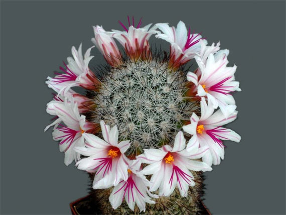 [The+most+beautiful+cactus+flowers+(1).jpg]