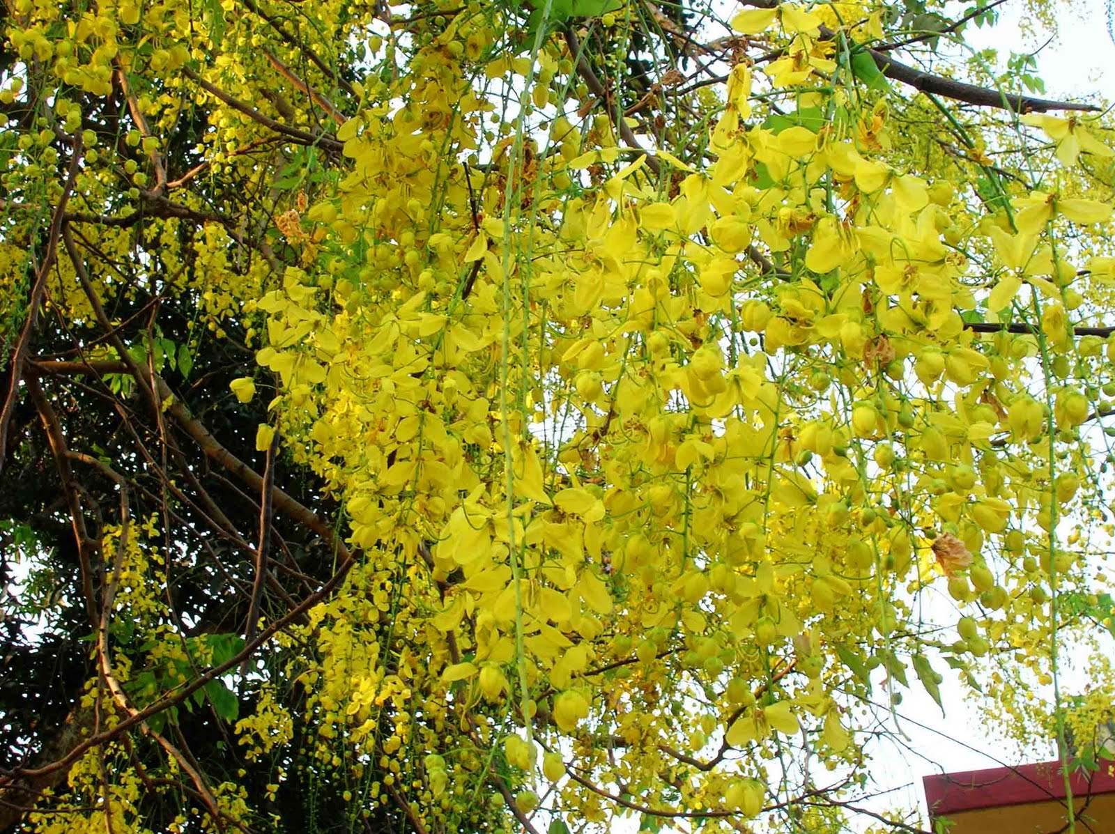 The urban gardener summer sherbet mumbai 39 s flowering trees for Garden trees with yellow flowers