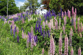 Lupine, near Freeport Maine