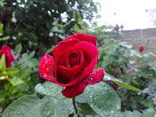Una linda rosa por la mañana
