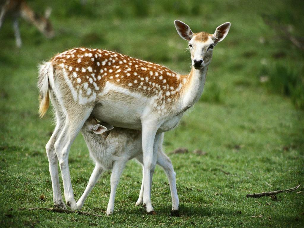 deers1b - Animal wallpaperz