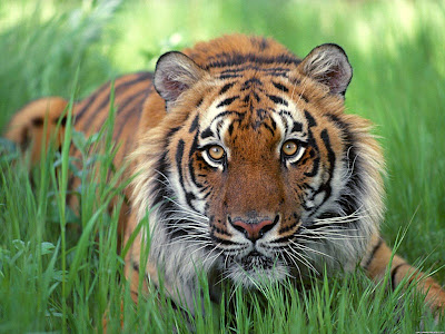 animals wallpaper african safari tigers. animals wallpaper african safari tigers. wallpaper tiger baby. Animal