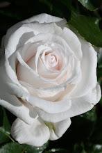 Royal Copenhagen Poulsen roser