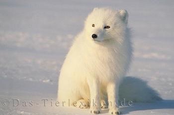 Alaska Fchse,: Amazonde: Bcher