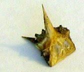 goathead-thorn.jpg