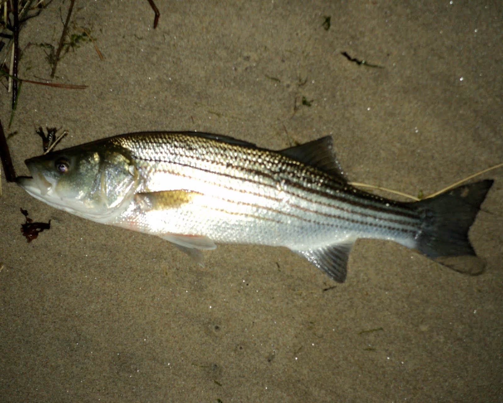The maine outdoorsman popular fishing locations for maine for Fishing for striped bass