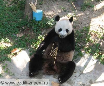 Панда. Таиланд. Зоопарк, Чианг-Май