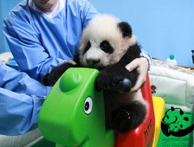 Панда, Тайланд, Чианг-Май, зоопарк, малыш панды из Таиланда