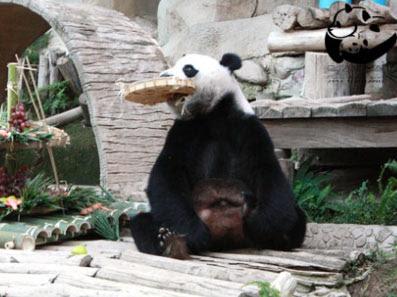 Панда, Тайланд, Чианг-Май, малыш панды из Таиланда