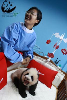 Панда, Тайланд, Чианг-Май, зоосад, малыш панды из Таиланда