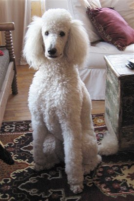 Sri Lankan Dog Lovers Dog Breed Information P S