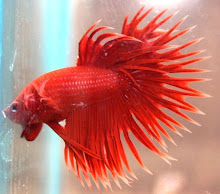 Crowntail (Serit)