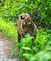 tiger In jim corbett national park india