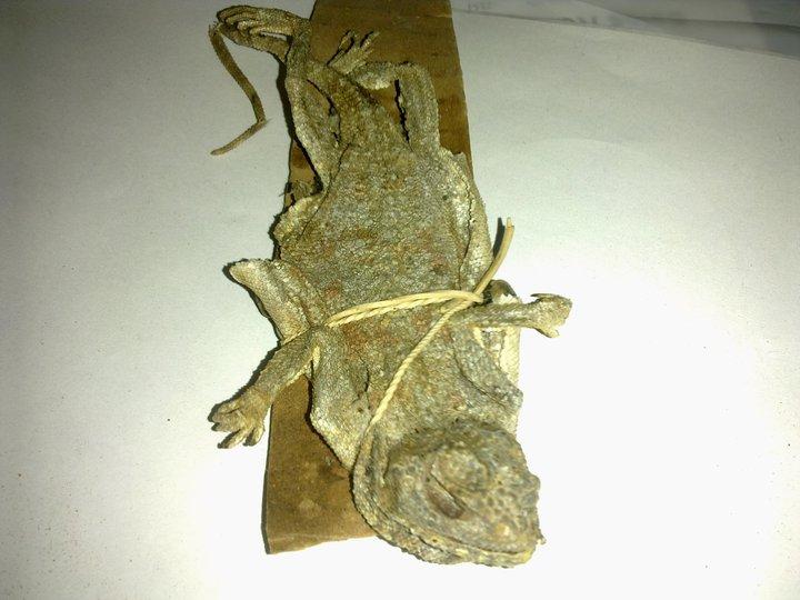 qorun herbal herbal kejantanan pria