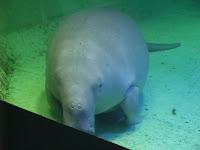 Esta señora es una dugong