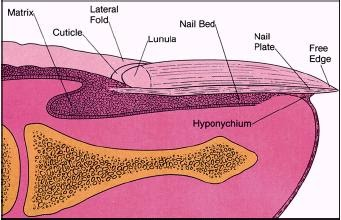 El tratamiento del hongo de las uñas bifosinom