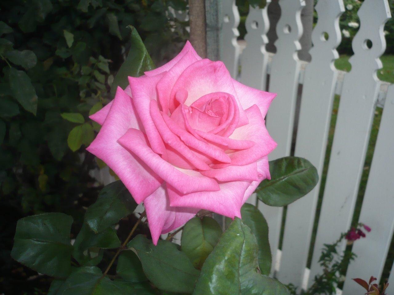 [pink-rose.JPG]