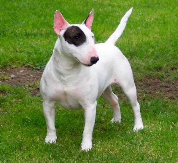 My English Bulldog: Bull Terrier Bulldog