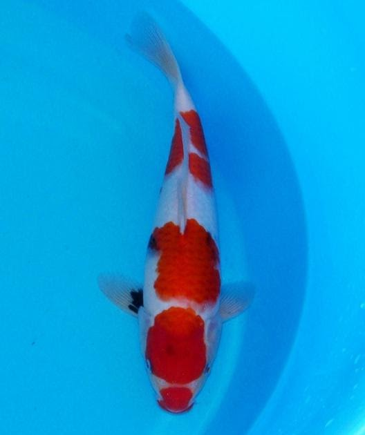 Best koi jumbo tosai showa from dainichi and isa koi farm for Koi breeders near me