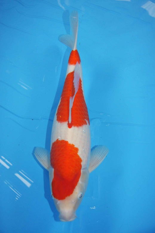 Best koi hq takigawa nisai kohaku with certificate for Koi breeders near me