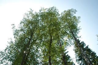 Finland birch trees