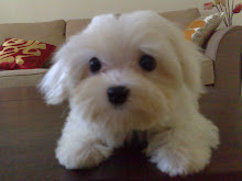 Bubble - A Naughty White Mini Maltese