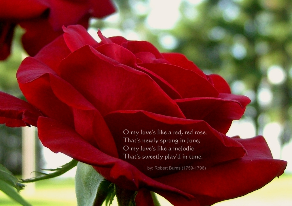 Valentines Day Red Roses ECards – Valentine Cards Online Send